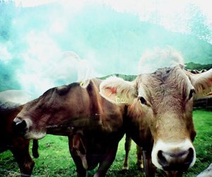 cow, cows, and film image