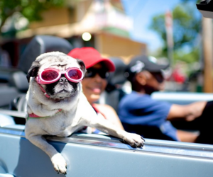 dog, pug, and sunglasses image