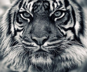 cool, sweet, and tiger image