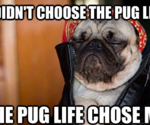 animal, pug, and sweet image