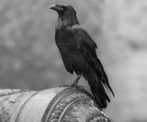 crow, black, and bird image