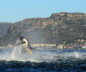 cape town, dolphins, and killer whale image