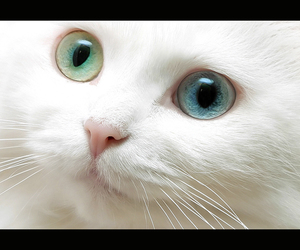 beautiful, blue, and cat image