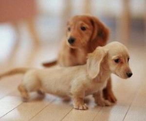 dachshund, weiner dog, and dogs image