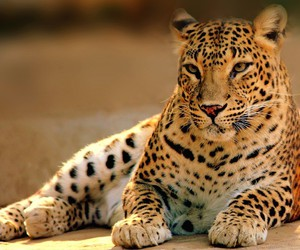 leopard, animal, and beauty image