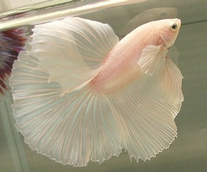 angel, betta, and bowl image