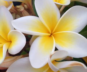 australia, flower, and frangipani image