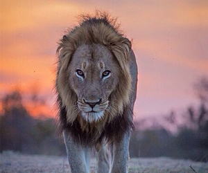 africa, lion, and sunset image