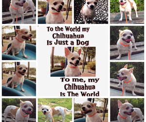 chihuahua, a place to love dogs, and dog image