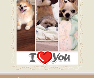chihuahua, shihtzu, and a place to love dogs image