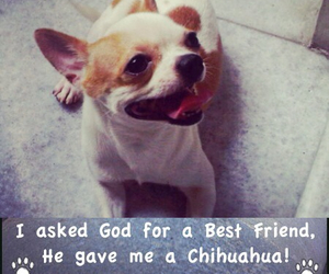 chihuahua, dog, and dog quote image
