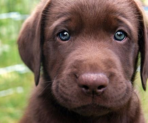 adorable, cute, and chocolate lab image