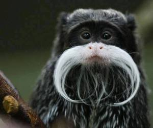 animals, monkey, and moustache image