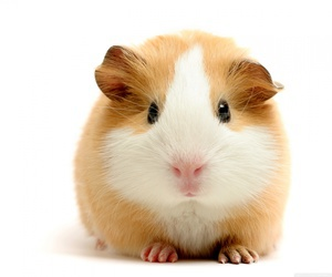 guinea pig, animal, and hamster image