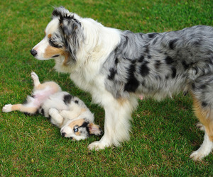 playing, puppy, and aussie dog image