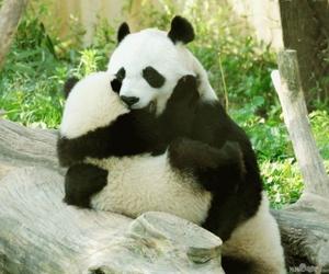 panda and nature image