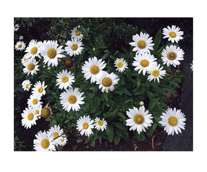 artsy, cool, and daisy image