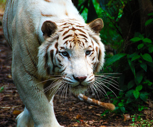 tiger, beautiful, and white image