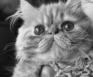 black & white, cat, and persian image
