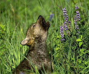 wolf pup cute image