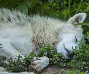 whie wolf image