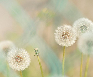 dandelion, pretty, and flowers image