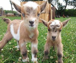 goat, animal, and baby image