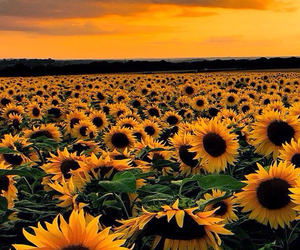 yellow, flowers, and sunflowers image