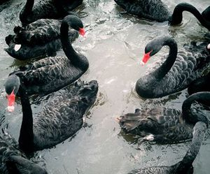 black, swans, and water image