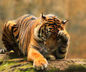extinction, tiger, and feline image
