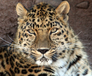 animal, beauty, and big cats image