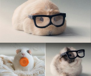 fat, glasses, and guinea pig image