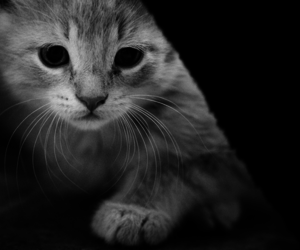 animal, cat, and black and white image