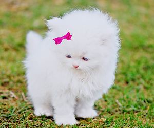 pink bow, )), and white kitten image