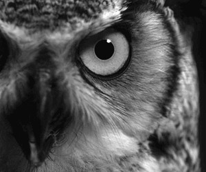 owl, black and white, and gif image