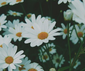 daisy, flowers, and fade image