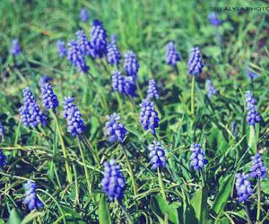 bokeh, grape hyacinth, and toycamera image