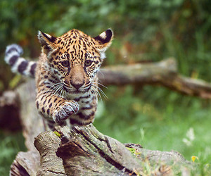 animal, cute, and leopard image