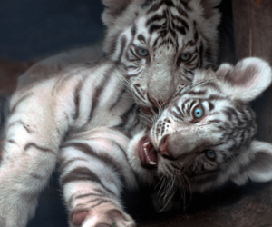animal, cute, and tigers image