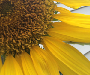 green, sunflower, and nature image