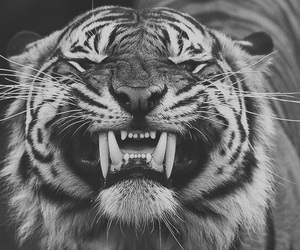 tiger, animal, and smile image