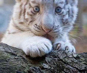 baby tiger, white tiger, and cute image