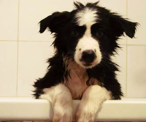 black and white, border collie, and dog image