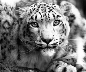 b&w, black and white, and leopard image