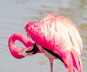 pink, animal, and flamingo image