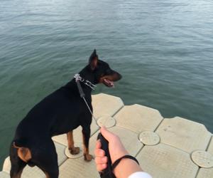 doberman, dog, and walking image