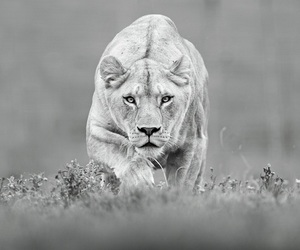 lunch lioness image