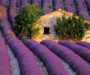 lavender and nature image