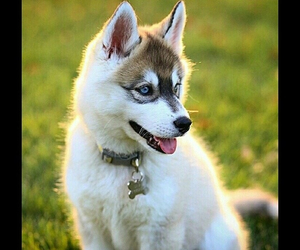 dog, puppy, and husky puppy image