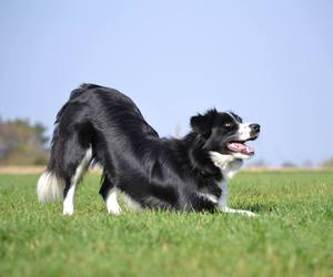 black & white, border collie, and dog image